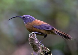 SICKLE-BILLED SCIMITAR-BABBLER(Xiphirhynchus superciliaris) Recorded: 22 April 2013/Added to IBC 1 year 17 weeks ago as of Sept.14,2014/Author: Lee Hunter/Locality:Trashigang, Trashigang District, Bhutan (Photo Source:http://ibc.lynxeds.com/)