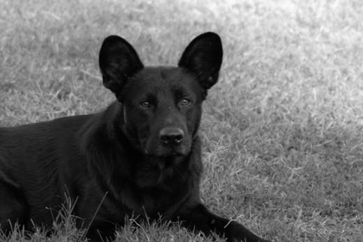 Black Dog Lying In Grass