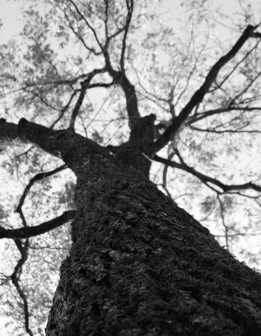 old-maple-tree-in-great-smoky-mountains