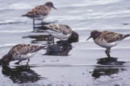 Shore birds eating the briney fly hatchlings in the salty water, a delicacy to them.