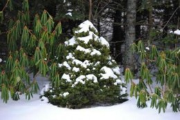 Dwarf Alberta Spruce with Rhododendron
