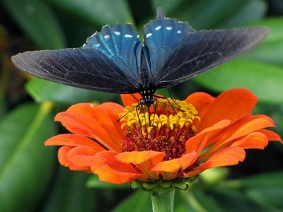 Pipevine Swallowtail on Zinnia