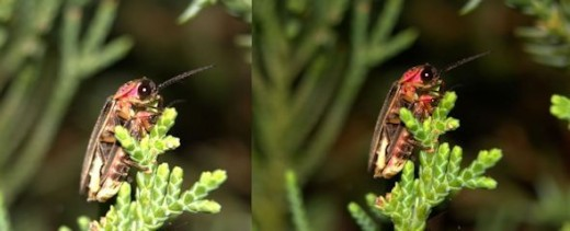 Common Eastern Fireflies mating.  On the left is the photo before post-processing.  On the right is the final product.