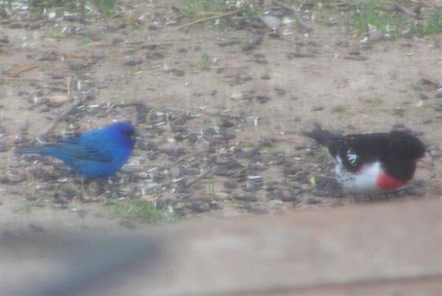 Indigo Bunting and Rosebreasted Grosbeak