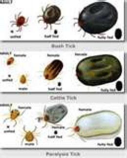 A variety of ticks that cause lyme disease