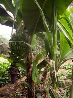 Banana tree in the yard.