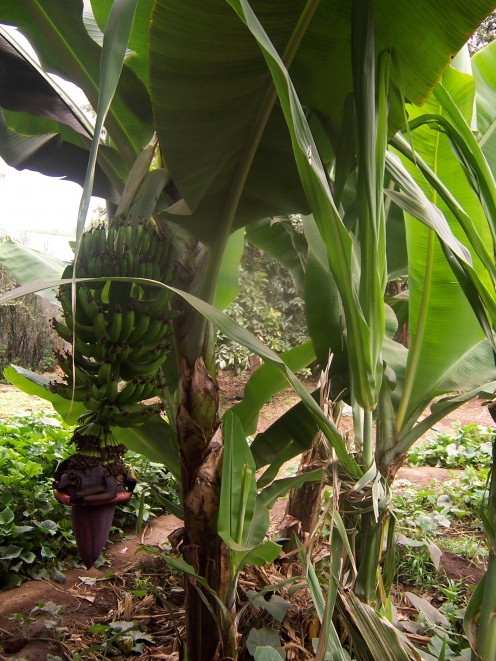 Banana tree in the yard.