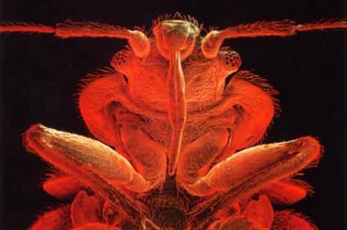what a bedbug looks like