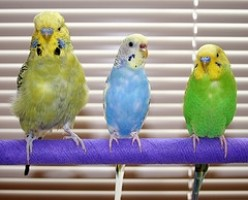 What to Feed a Budgie?