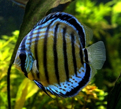Buying Discus Fish