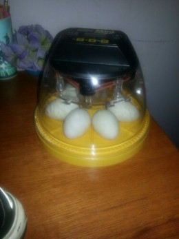 Personal photo of Ancona duck eggs incubating.
