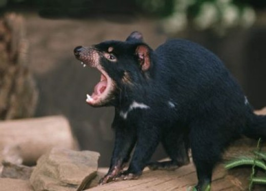 Tasmainian Devil
