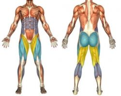 Muscles utilised during resistance band squat