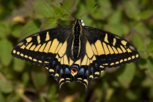 The Anise Swallowtail