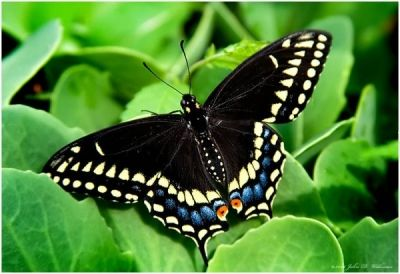 The Black Swallowtail