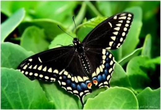The Black Swallowtail