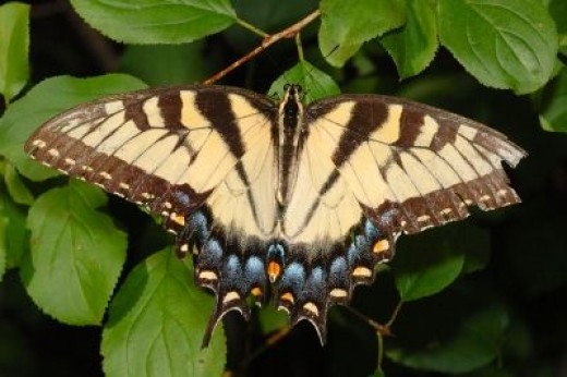 The Eastern Tiger Swallowtail