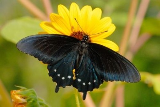 The Pipevine Swallowtail