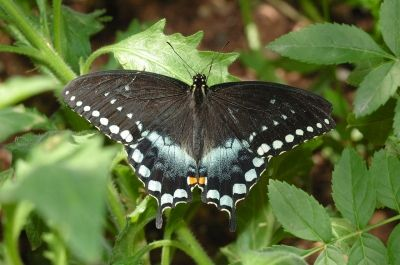 The Spicebush Swallowtail