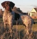 All About German Shorthaired Pointers