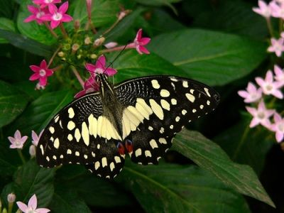 The Citrus Swallowtail