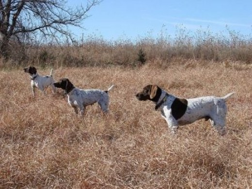 Three German Shorthaired Pointers