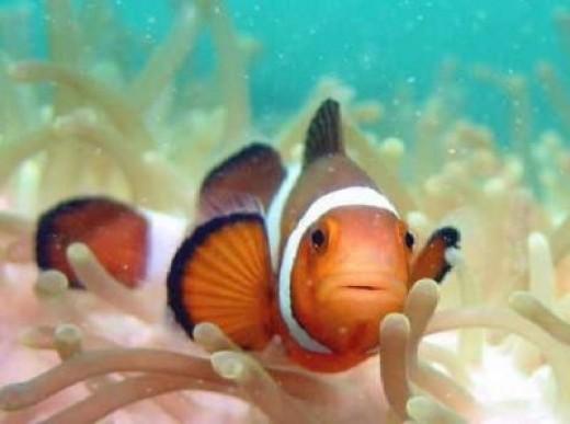 perfect Common Clownfish