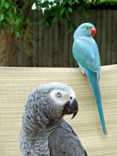 Larger Parrots