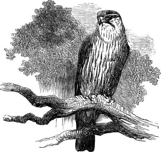Drawing of a kestrel