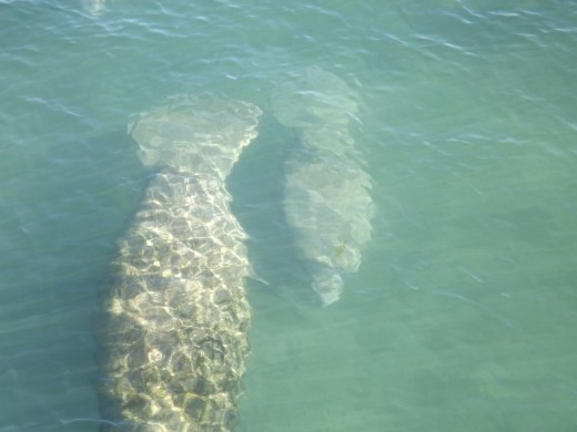 Manatee in the river.