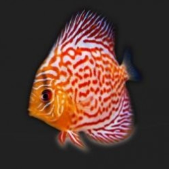 Secrets of Breeding Discus Fish