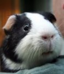 Are you Ready to Adopt a Guinea Pig?