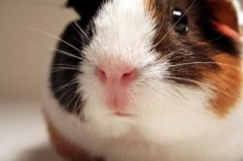 What Can Guinea Pigs Eat?
