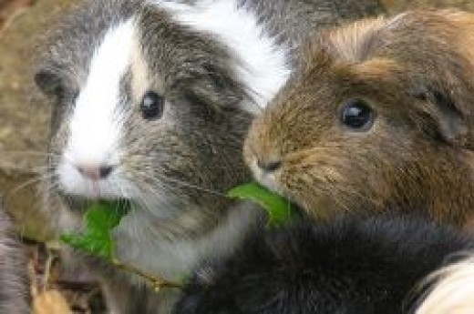 Guinea Pigs happily munching next to one another.