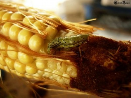 Yikes! A Corn Worm!