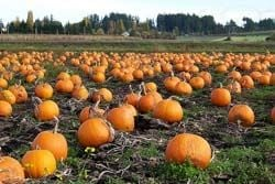 Pumpkin patch - photo credit Kam's World