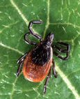 The Lime Disease tick