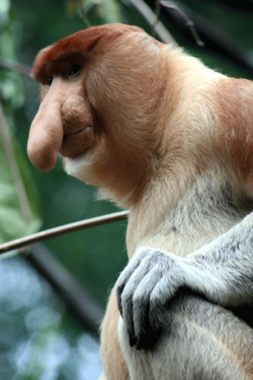 Proboscis Monkey -- a long-nosed monkey native to Borneo. (Photo: woot882002 via Flickr Creative Commons)