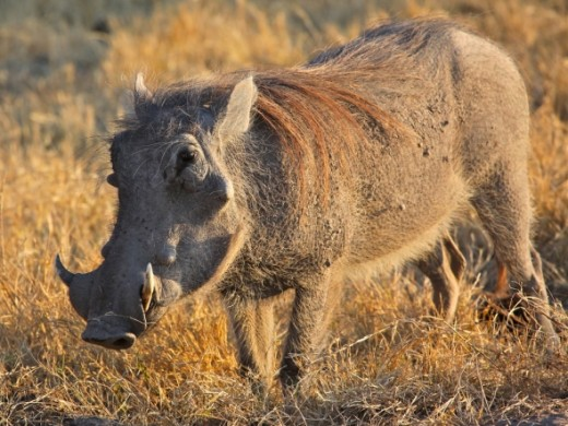 Warthog -- this African beast is not to be trifled with! (Photo: jurvetson via Flickr Creative Commons)