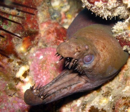 Viper Moray Eel -- this is a ferocious critter!  (Photo: SWBatzer via Flickr Creative Commons)