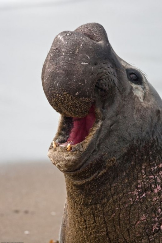 Elephant Seal -- males are a textbook example of sexual selection, I wouldn't want to meet one of these on the beach! (Photo: mikebaird via Flickr Creative Commons)