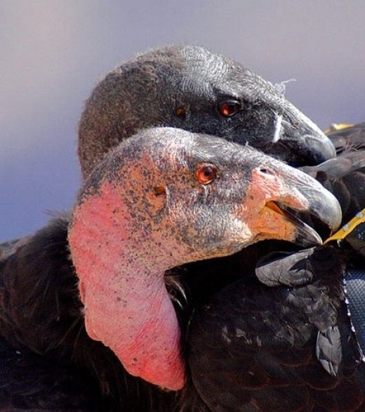 California Condor -- one of the largest birds in North America, they are slowly coming back after almost going extinct.  (Photo: Doug Greenberg via Flickr Creative Commons)