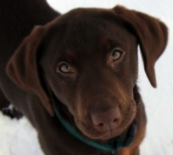 Chrissy My Chocolate Lab