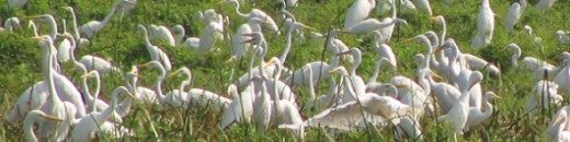 Egrets at Bueng Boraphet