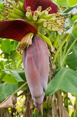 You can't help but admire the beauty on the banana blossom.
