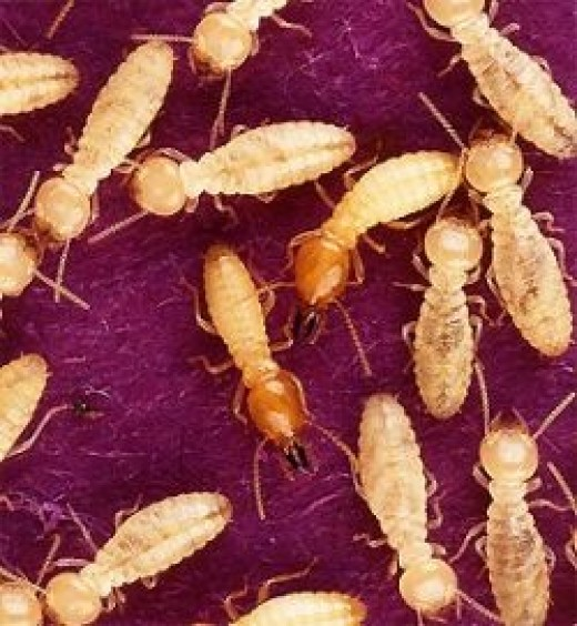 Termites from Wikipedia