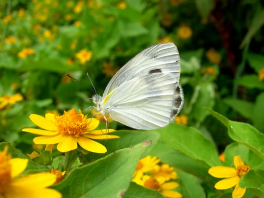 Unidentified White Butterfly