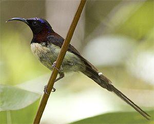 Black-throated Sunbird by Johan Svensson