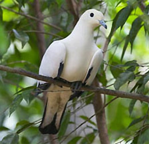 Pied Imperial Pigeon by Hans Stehl