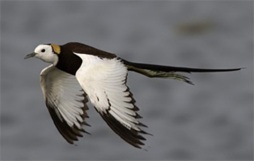 Pheasant-tailed Jacana by Peter Ericsson